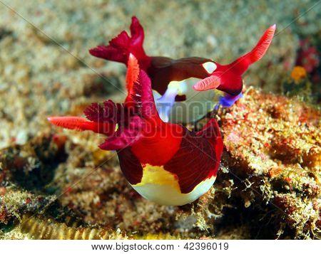 Sea slugs of the Philippine sea
