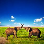Elephants playing with their trunks on African savanna. Safari in Amboseli, Kenya, Africa