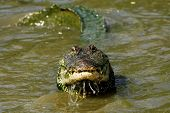 image of crocodilian  - Curious American Alligator Peering out of the Water - JPG
