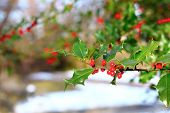 stock photo of aquifolium  - common holly  - JPG