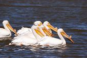 stock photo of klamath  - American White Pelican Pelecanus erythrorhynchos on Upper Klamath Lake near Klamath Falls Oregon - JPG