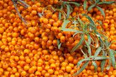 foto of sea-buckthorn  - orange  sea - JPG