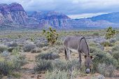stock photo of burro  - A wild burro in the Nevada desert - JPG