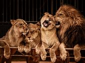 pic of lioness  - Lion and three lioness - JPG