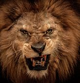 stock photo of african lion  - Close - JPG