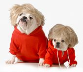 picture of obey  - cute dogs wearing exercise clothing isolated on white background  - JPG