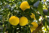 stock photo of orchard  - Grapefruit among the trees of an orchard - JPG