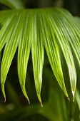picture of monocots  - Jipijapa palm (Carludovica palmata) is a palm-like monocot plant used for the Panama hats.