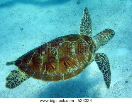 Schwimmen Schildkröte 3