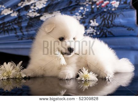 bitch and puppies Japanese Spitz