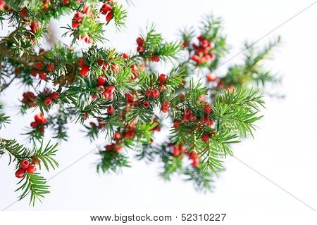 Yew tree branch against white background