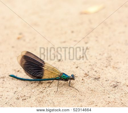 Blue Dragonfly On Sand