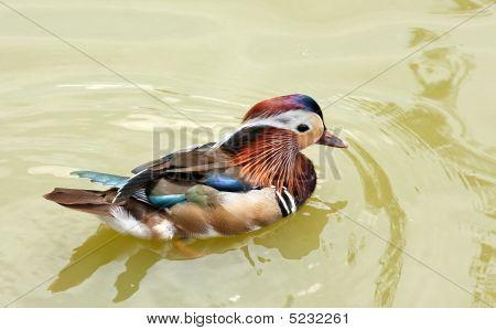 Colorful Mandarin Drake