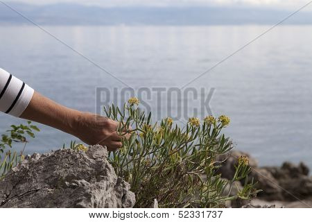 Woman picking  Mediterranean herbs