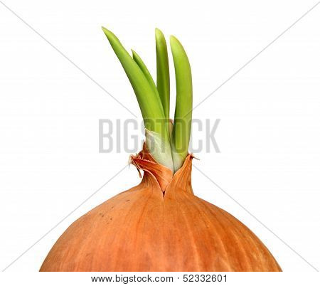 Green Onion Sprout Closeup Isolated