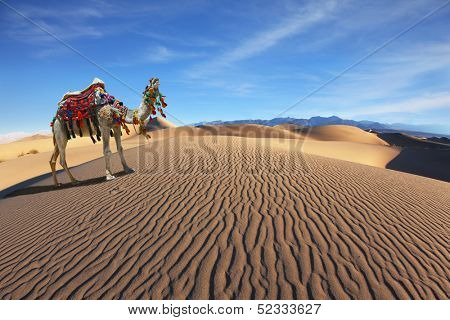 Gorgeous dromedary yells at the sand dunes. Dromedary decorated with picturesque harness and bright red blanket