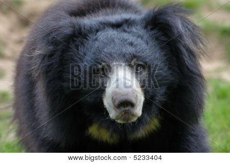 Sloth Bear  (melursus Ursinus)