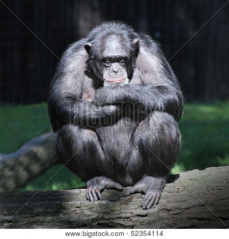 Sleeping Chimpanzee.
