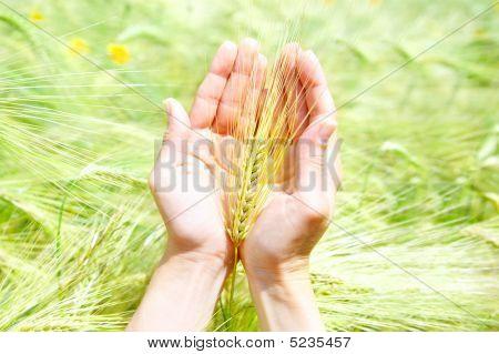 Ear In Woman Palms