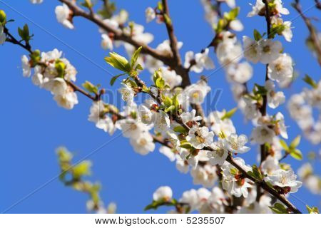 Cherry Blooming