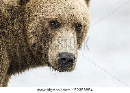 Coastal Brown Bear Closeup