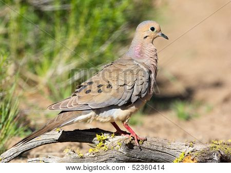Mourning Dove. Oregon, US