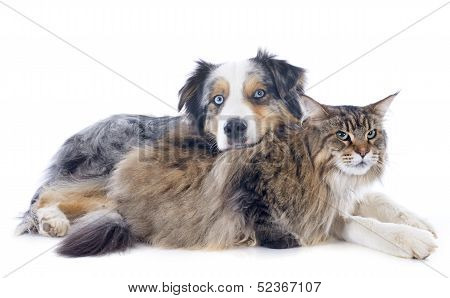 Australian Shepherd And Maine Coon