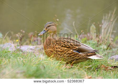 Mallard Duck On Grass By The River