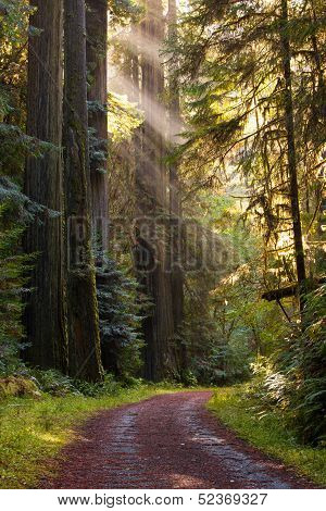 Gravel Road Curve Through Redwood Forest, Rays Of Sun Light