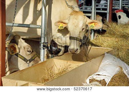 Dairy Animal Industries. White Milk Cow.