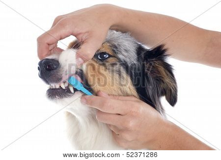 Australian Shepherd And Toothbrush