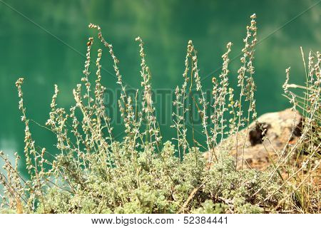Wild sage and Yukon river in background at whitehorse, Yukon