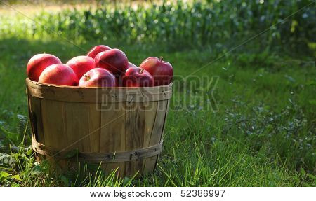 Red apples in a basket in a green orchard during autumn