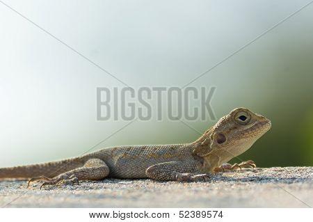 Agama Lizard Resting On A Wall