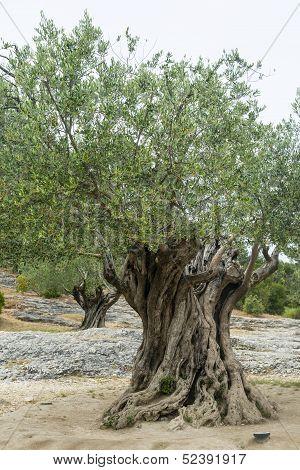 Pont Du Gard: Old Olive Trees