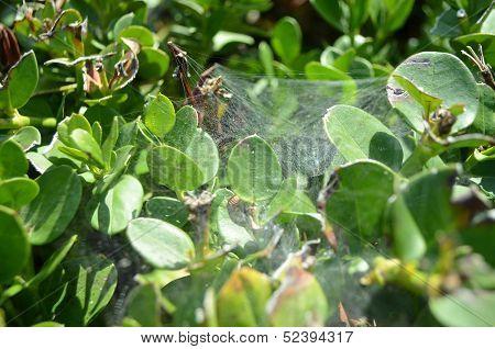 Spierweb