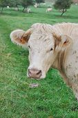foto of charolais  - close on a cow in its meadow with cattle in background - JPG