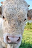 stock photo of charolais  - a closeup on a charolais white calf - JPG