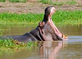 stock photo of hippopotamus  - Hippopotamus yawning - JPG