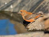 picture of crossbill  - Red Crossbill drinking Water by the pond - JPG