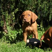 stock photo of vizsla  - Puppy of nice Hungarian Short - JPG
