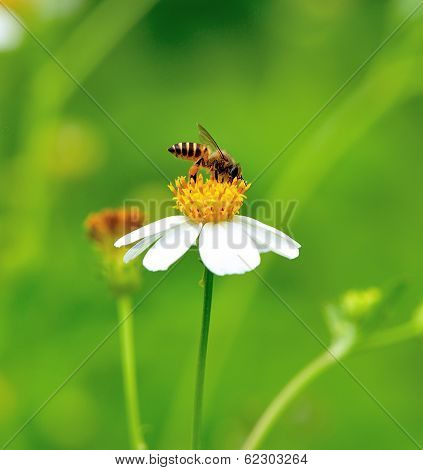 A Bee Busy Drinking Nectar From The Flower