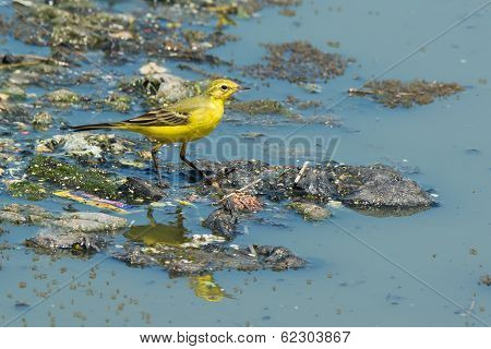 British Yellow Wagtail Standing On Floating Garbage And Sewage