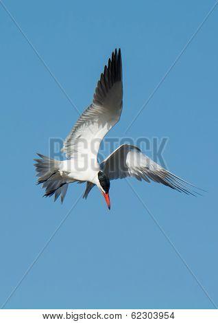 Caspian Tern In Flight Getting Ready To Dive
