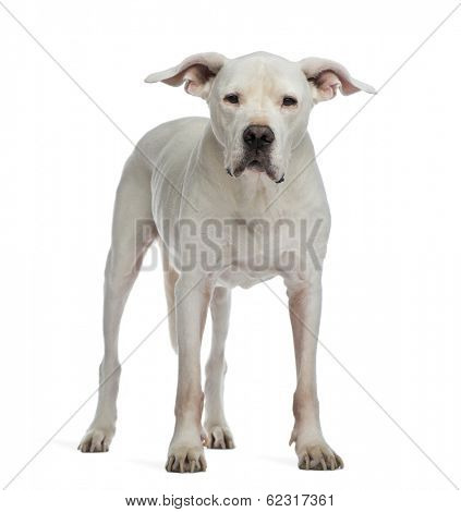 Dogo Argentino standing and looking at the camera