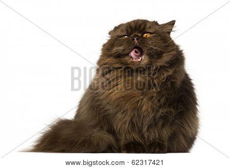 British Longhair  sitting and yawning