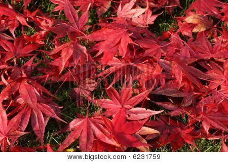 Japanese Maple leafs mit morningthaw