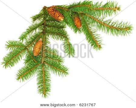 Pine Leaves And Cones