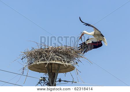 White Storks In The Nest On The Elektrical Pole Blue Sky (ciconia)