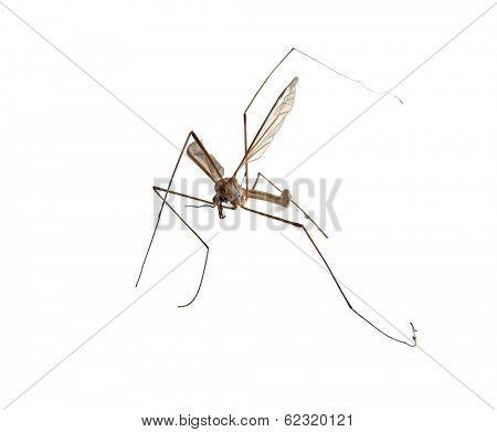 Crane fly, Tipula maxima, on a white background